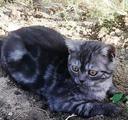 Шотландский кот- страйт чёрный мрамор на серебре